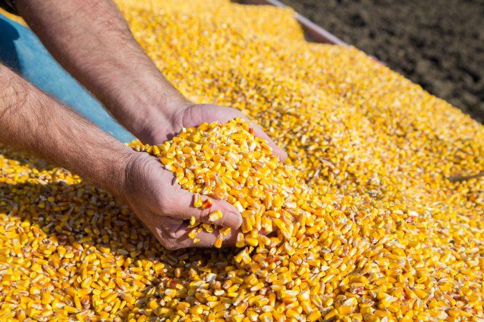 Grains Crash as Corn Has Bumper Crop at a Difficult Time